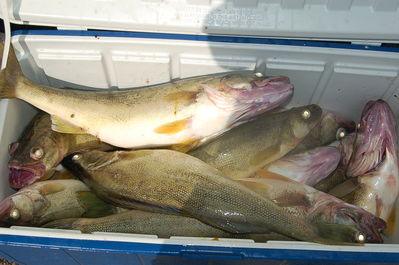 Spring 2012 Walleye Charters Aug25 008 Blue Dolphin